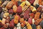 peru - corn